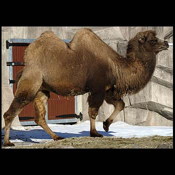 http://www.onantzin.com/images/news_stories/camel.jpg